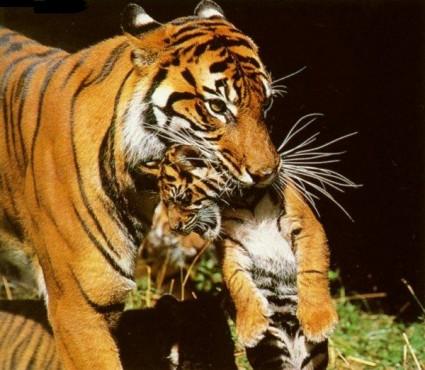 tigre-com-filhote